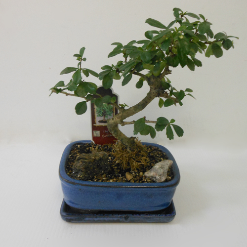 Bonsai Fukien Tea