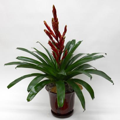 Bromelia Rouge