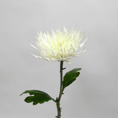 Chrysanthème Blanche