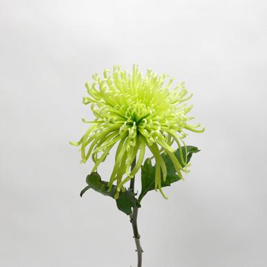 Chrysanthème Verte