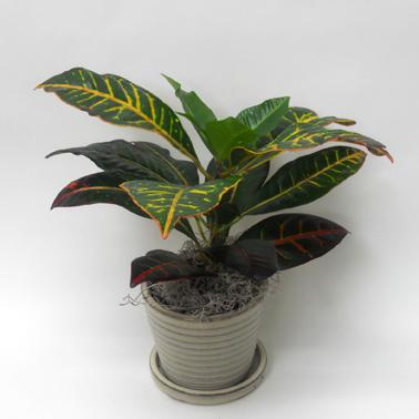 Croton 4-Pouces