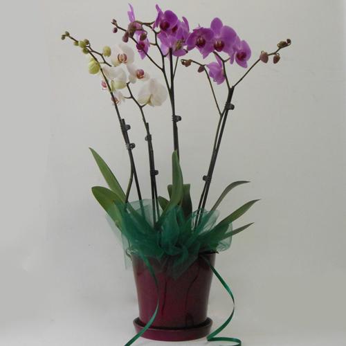Jardin d'Orchidées Doubles