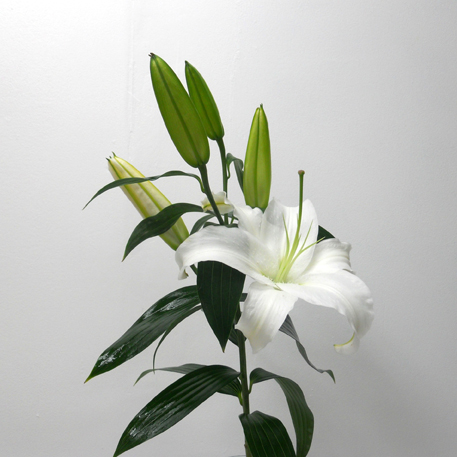 Lys Siberia Blanc