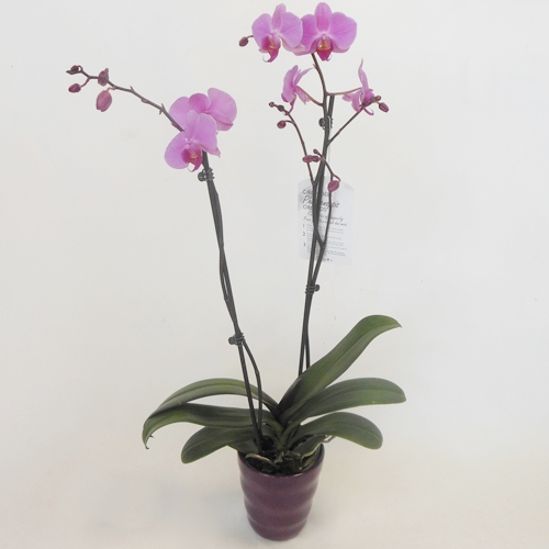 Orchidée Rose en Pot