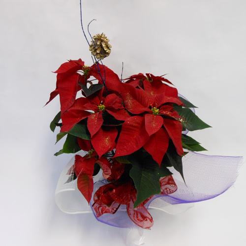 Poinsettia - 6 pouces