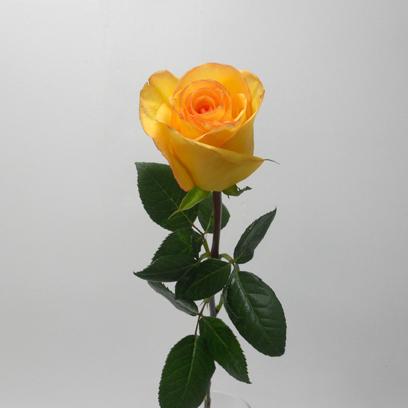 Rose Déjà-Vu