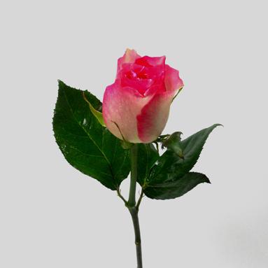 Rose Malibu